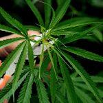 En año de elecciones vuelve el debate sobre la legalización de la Marihuana